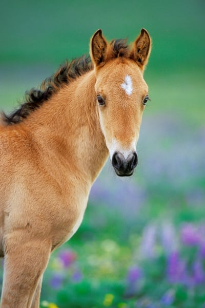 Young wild horse colt with wildflowers.  Western U.S., summer.
