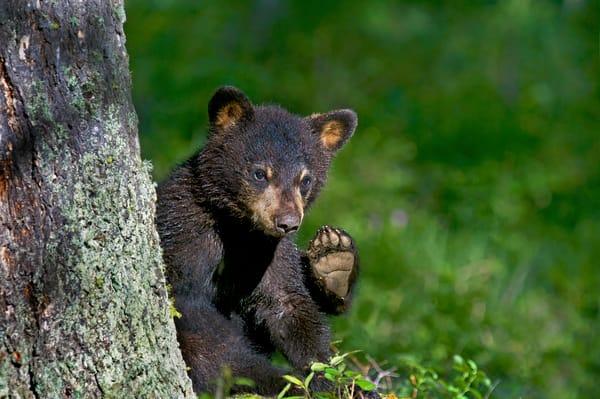 Wild Black Bear cub.  Western U.S., spring.