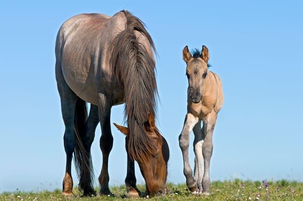 Wild Horse mare with colt.  Western U.S., summer.