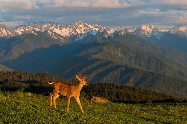 Black-tailed Deer Buck in subalpine meadow.
