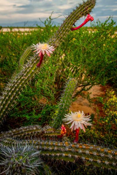 Baja Flower 2364 Photography Art | Craig Primas Photography