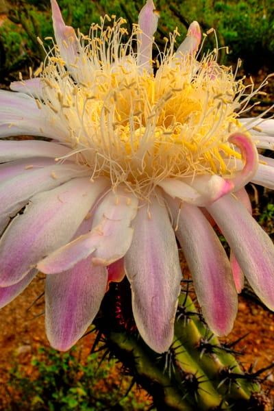 Baja Flower 2438 Photography Art | Craig Primas Photography