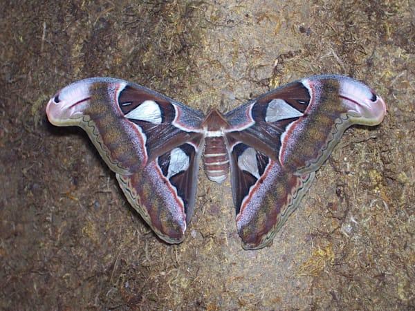 Butterfly Art | Matt Pierson Artworks