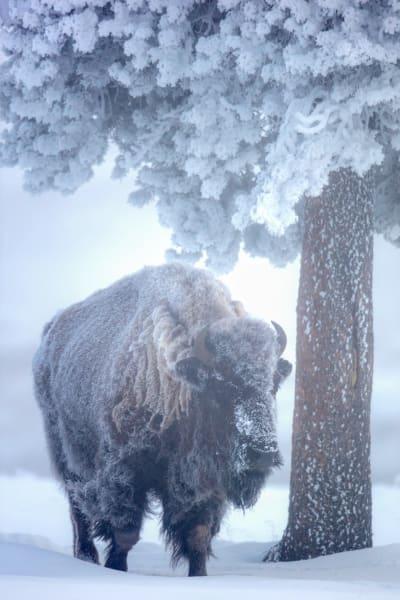 Yellowstone Buffalo | Robbie George Photography