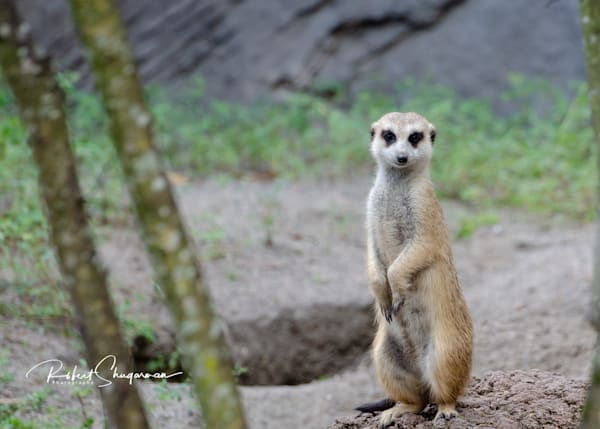 Meerkat | Shop Prints | Robert Shugarman Photography
