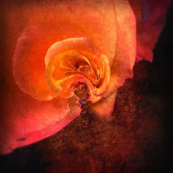 Rose In Orange