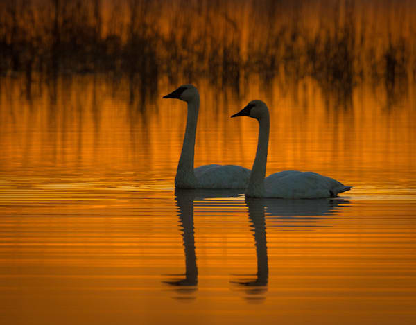 Swans at Dawn