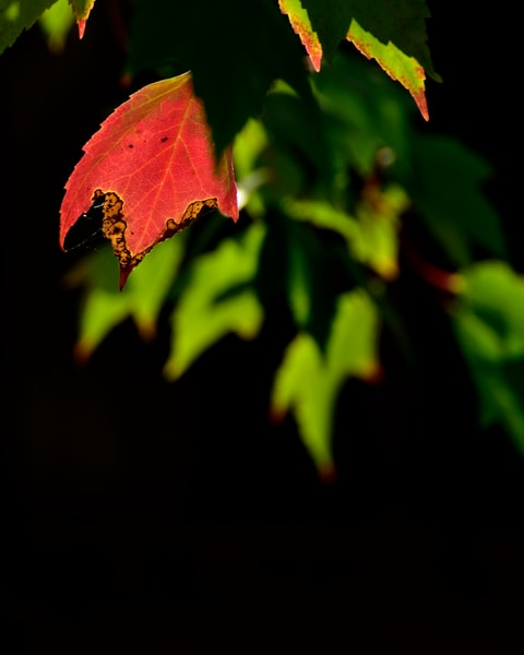 Backlit Red And Green Leaves
