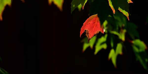Single Red Leaf