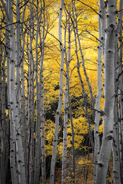 Aspen trees in Colorado on a rainy afternoon