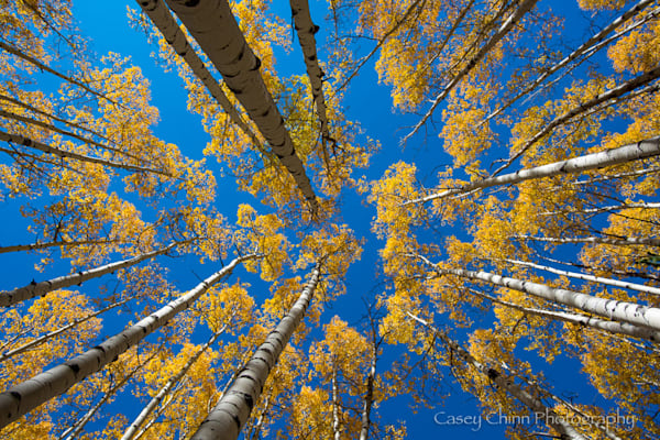 Looking up into a tall stand of golden Aspen trees in the fall