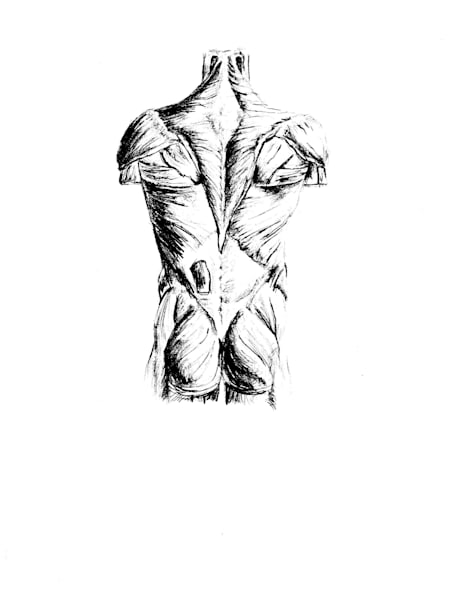 back muscles drawing