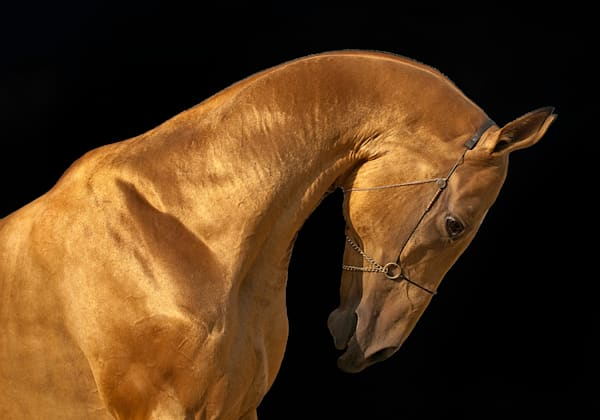 Golden Stallion 2 Art | KJ's Studio