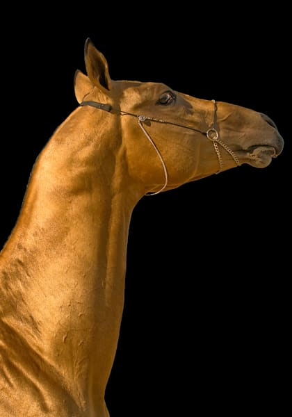 Golden Stallion 3 Art by KJ's Studio