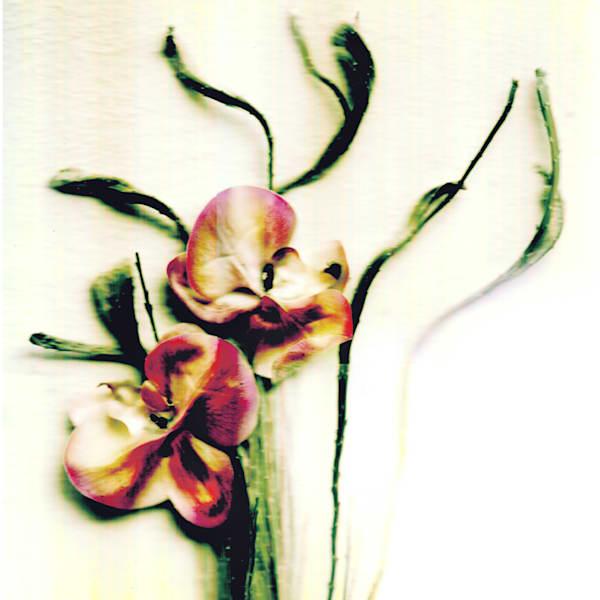 honest moth orchid