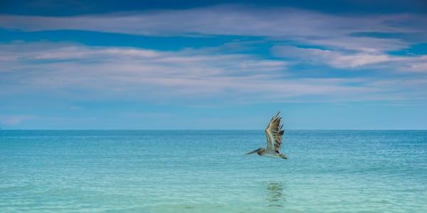 Lone Pelican Photography Art | draphotography