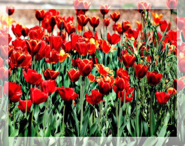 Soft Focus Red Tulip Field Art | Carrera Fine Art Gallery