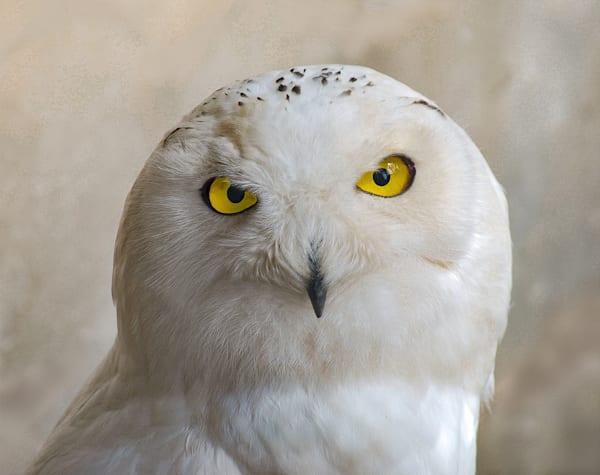 Wise Snowy Owl Art | Carrera Fine Art Gallery