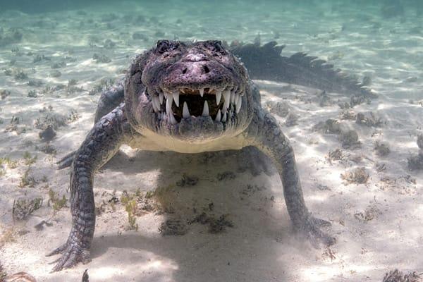 Barking Crocodile
