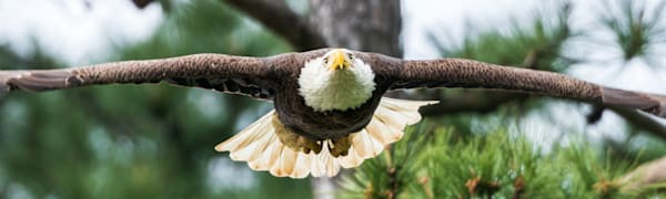 Lift Off - Flight Of An American Bald Eagle