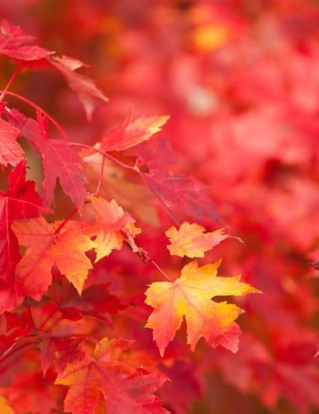 Red Maple leaves ablaze - shop fine-art notecards | Closer Views