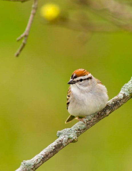 Chipping Sparrow resting - shop fine-art notecards | Closer Views