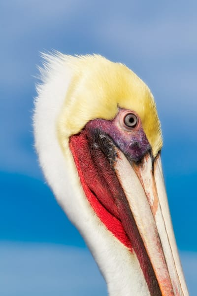 Brown Pelican | Robbie George Photography