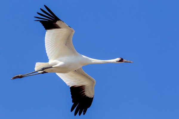 Whooping Crane | Robbie George Photography