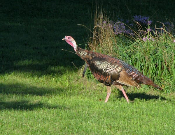 Strolling Wild Turkey - shop fine-art notecards | Closer Views