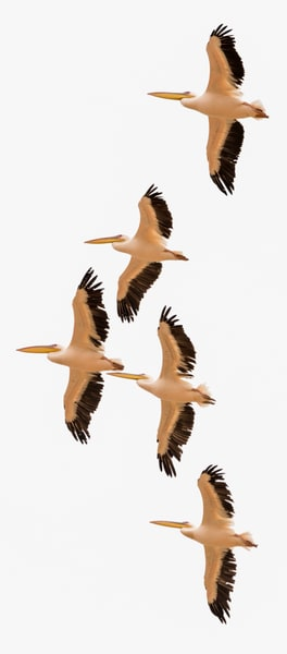 Pelicans in vertical panorama