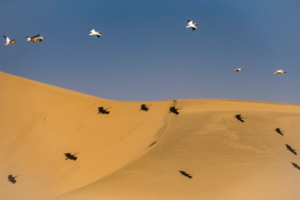 Pelicans over sand dune casting shadows