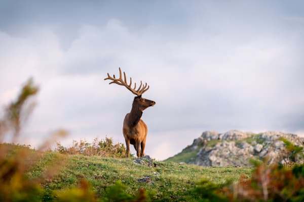 Golden Hour Elk Portrait Photography Art | Enigma Fotos