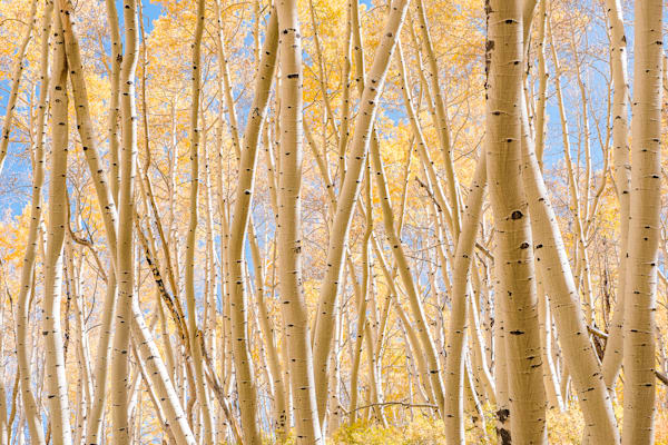 Beautiful aspen grove
