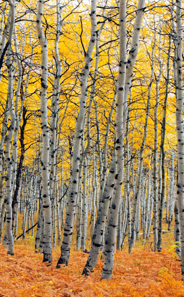 autumn golden aspens