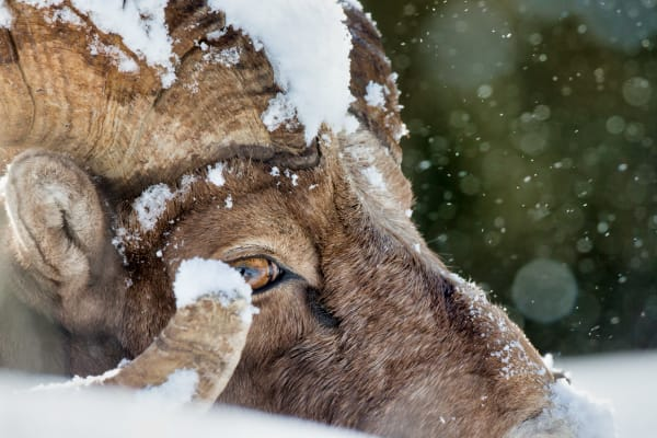 Bighorn Sheep | Robbie George Photography