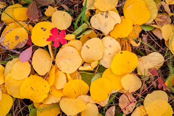 Aspen leaves in repose - Colorado photography prints