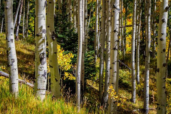 Symmetry - Colorado aspen photography prints