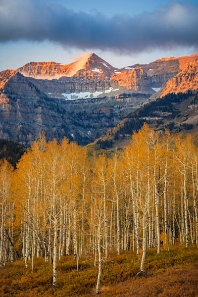 golden aspens with timp