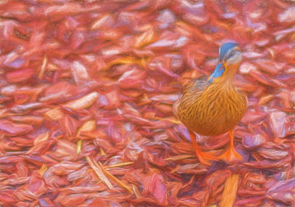 Duck In Red Photography Art | draphotography