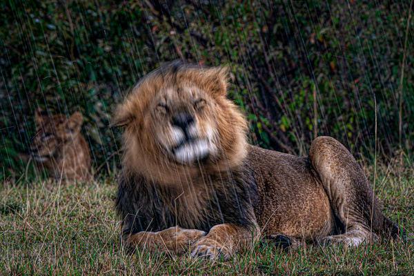 Lion Mane Shake #1 Photography Art | Carol Brooks Parker Fine Art Photography