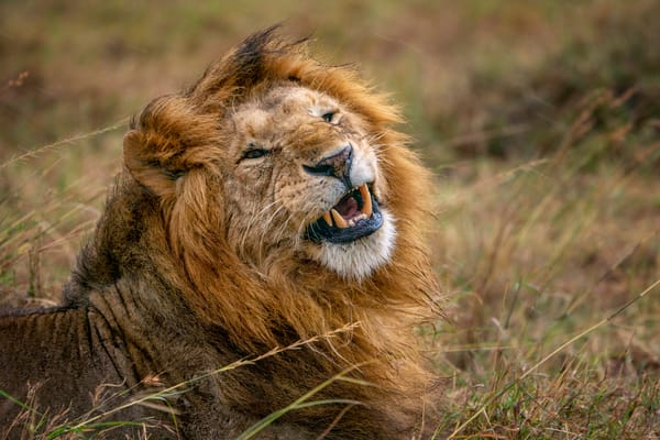 Windblown Lion Photography Art | Carol Brooks Parker Fine Art Photography
