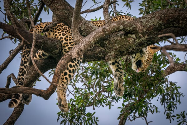 Leopard Dreams Photography Art | Carol Brooks Parker Fine Art Photography