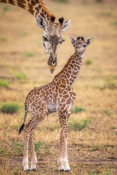 Newborn Giraffe V1 Photography Art | Carol Brooks Parker Fine Art Photography