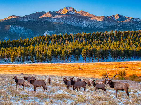 Elk in front of Long's Peak