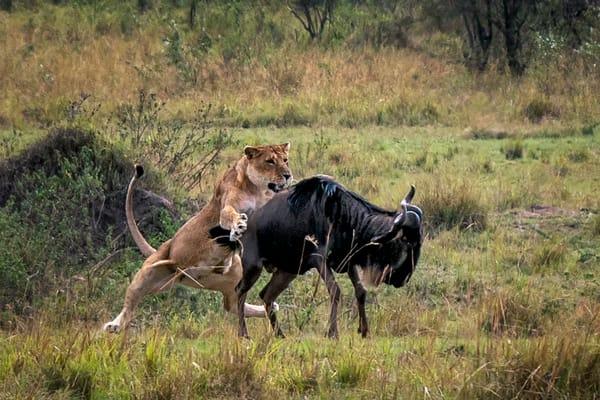 Lion Kill Photography Art | Carol Brooks Parker Fine Art Photography