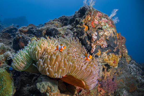 Anemone and Fish on a Coral Reef