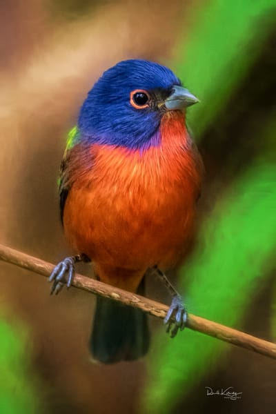 A Portrait of a Painted Bunting