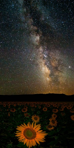 Milky Way and Sunflowers