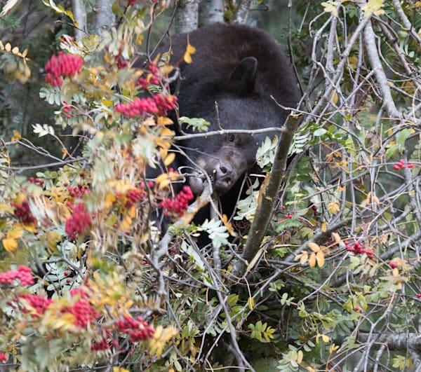 Whistler Bear Eating Branch Photography Art | Leiken Photography