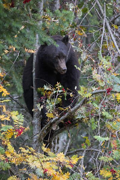 Whistler Black Bear1